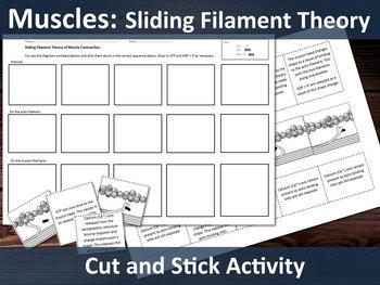 Biology A Level - Muscles - Sliding Filament Theory Cut & Stick Activity
