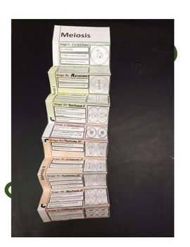 Biology Activity: Foldable Meiosis