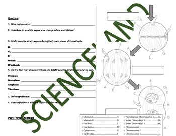 Biology Activity: Mitosis and Meiosis Flow Chart