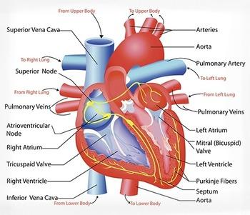 Biology: Cardiovascular System Anatomy Diagram