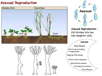 Cell Reproduction - Cell Cycle; Sexual and Asexual w/ worksheet