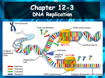 Biology Dna 12 3 Dna Replication By Dustinlee14 Biology Tpt