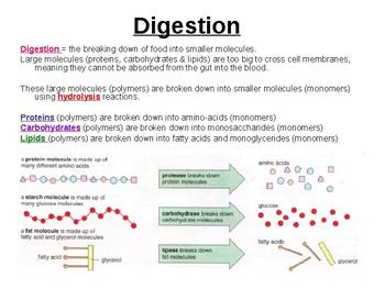 Biology - Digestion & Absorption.