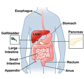 Biology: Digestive System Anatomy Diagram