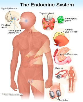 Biology: Endocrine System Anatomy Diagram