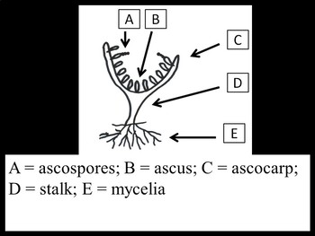 Biology Fungi Anatomy