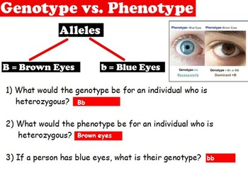 Genetics - Genotype/Phenotype; Heterozygous/Homozygous w/ worksheet