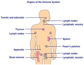 Biology: Immune System Anatomy Diagram