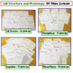 Cells, Mitosis, Photosynthesis, Respiration Interactive Notebooks and Warm Ups