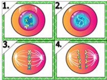Biology Mitosis Matching Activity Task Cards (Key, Fully E