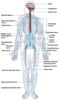 Biology: Nervous System Anatomy Diagram