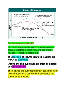 Biology Notes over Chemical reactions and How an Enzyme Works
