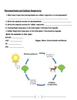 Bioenergitics - Photosynthesis and Cell Respiration Worksheet