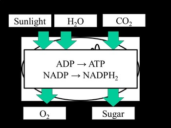Biology Photosynthesis and Respiration