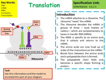 Biology (Science) Protein Synthesis Lesson & Activities