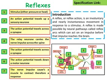 Biology (Science) Reflexes Lesson & Activities