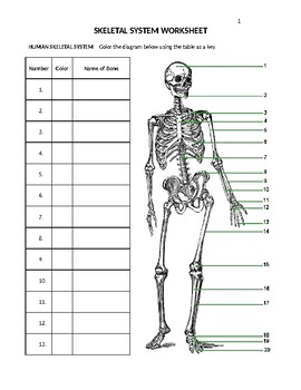 Skeletal System Worksheets | Teachers Pay Teachers