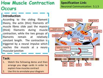Biology: Sliding Filament Model Lesson & Activities
