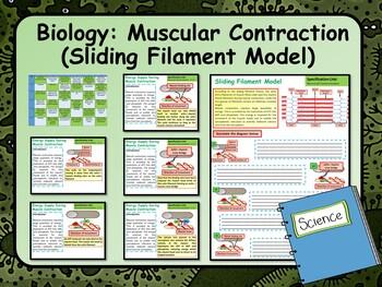 Biology Sliding Filament Model Lesson & Activities