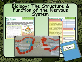 Biology: Structure & Function of the Nervous System Lesson & Activities