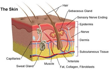 Biology: The Skin - Anatomy Diagram