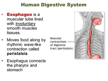 Biology Unit:  Digestive Systems - Structures, Functions & Disorders