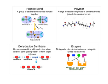 Biomolecules (9A) Vocabulary Flash Cards