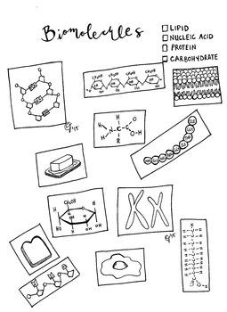 Biomolecules worksheet middle school