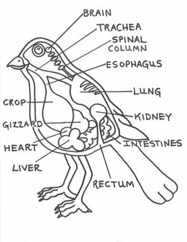 Bird Anatomy Craft By Laila Camacho