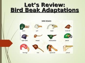 Bird Feet AND Beak Adaptations COMPLETE LESSON