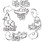 Bird Life Cycles