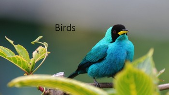 Birds - Powerpoint
