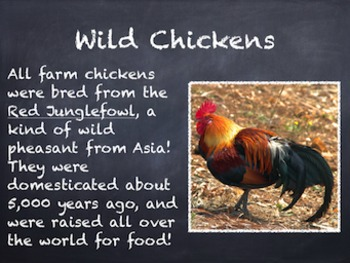 Birds Vol. 03: Chickens - PowerPoint Slideshow Presentation