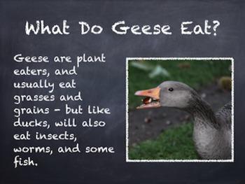 Birds Vol. 04: Ducks Geese & Swans - PowerPoint Slideshow Presentation