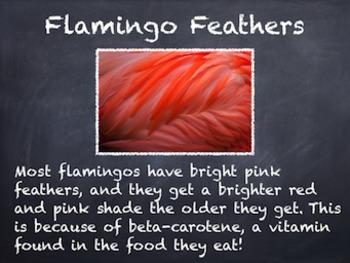 Birds Vol. 06: Flamingos - PowerPoint Slideshow Presentation