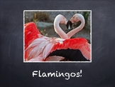 Birds Vol. 06: Flamingos - PowerPoint Slideshow Presentation
