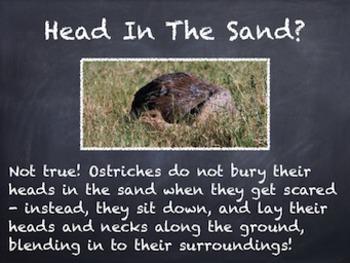 Birds Vol. 09: Ostriches - PowerPoint Slideshow Presentation