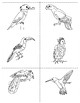 Birds of the Amazon Rain forest : Three Part Cards  and Colouring Book