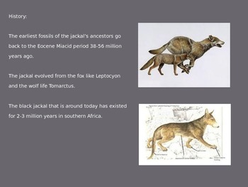 Black Backed Jackal - Power Point - Information Facts Pictures 10 Slides
