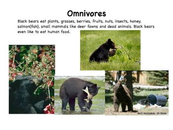 Black Bears Slideshow