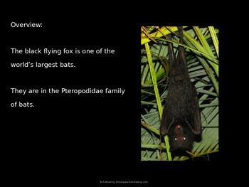 Black Flying Fox - Bat Power Point - Information Facts Pictures