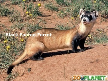 Black Footed Ferret - Power Point - Information Facts Pictures