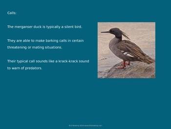 Black Merganser - Bird - Power Point Information Facts Pictures Endangered