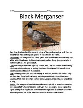 Black Merganser - critically endangere bird lesson review questions vocabulary