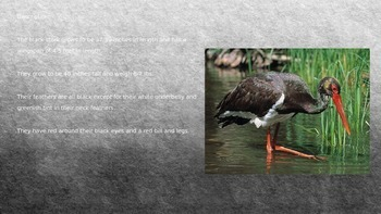Black Stork - Power Point - Information Facts Pictures