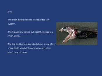 Black Swallower - Fish - Power Point Information Facts Pictures