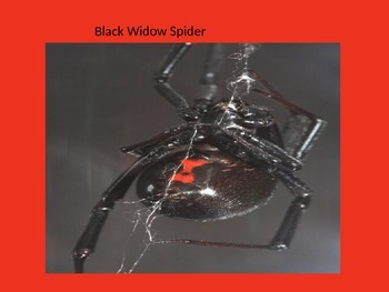 Black Widow Spider - Power Point - facts information pictures