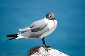 Black-headed Seagull resting on a Rock
