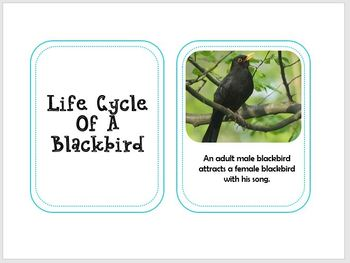 Blackbird Life Cycle With Real Photos Preschool Science