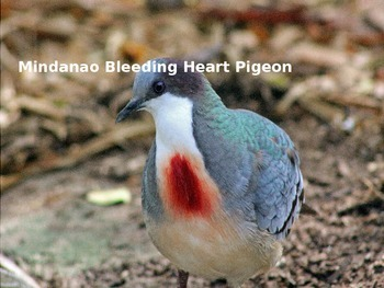 Bleeding Heart Pigeon - Power Point - Information Facts Pictures
